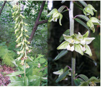 Epipactis helleborine (L.) Crantz (E. latifolia (L.) All.)