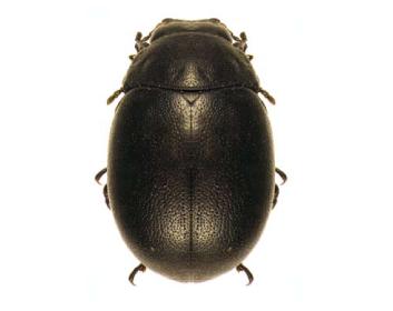 Листоед-чеккиниола (Cecchiniola platyscelidina (Jacobson, 1908))
