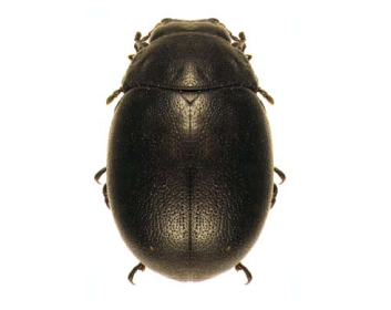 Чекініола пластисцелідина (Cecchiniola platyscelidina (Jacobson, 1908))