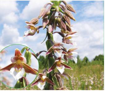 Коручка болотна (Epipactis palustris (L.) Crantz (E. longifolia All., Serapias helleborine L. var. palustris L.))