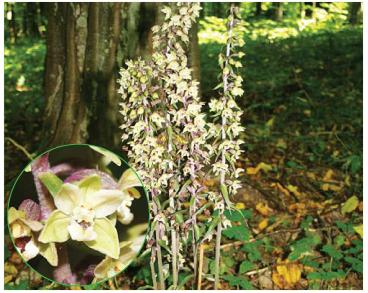 Коручка пурпурова (Epipactis purpurata Smith (E. viridiflora (Hoffm.) Krock., nom. rej. prop., E. violacea (Dur.-Duq.) Boreau, E. sessilifolia Peterm.))
