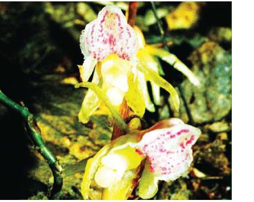 Надбородник безлистный (Epipogium aphyllum Sw.)