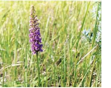 Билинець найзапашніший (Gymnadenia odoratissima (L.) Rich. (Orchis odoratissima L.))
