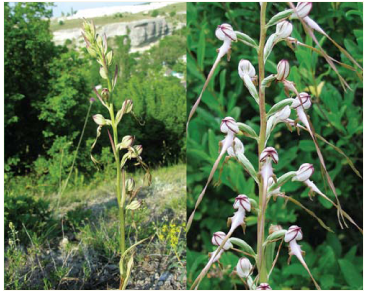 Himantoglossum caprinum (M. Bieb.) K.Koch (H. hircinum (L.) W.D.J.Koch subsp. caprinum (M.Bieb.) K.Richt.; Orchis caprina M.Bieb.)