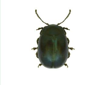 Хризоліна карпатська (Chrysolina carpatica (Fuss))