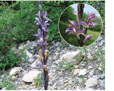 Лімодор недорозвинений (Limodorum abortivum (L.) Sw. (Orchis abortiva L.))