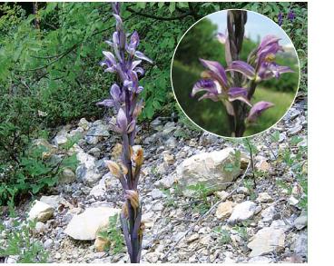 Лимодорум недоразвитый (Limodorum abortivum (L.) Sw. (Orchis abortiva L.))