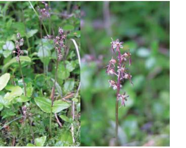 Тайник сердцелистный (Listera cordata (L.) R.Br. (Ophrys cordata L.))