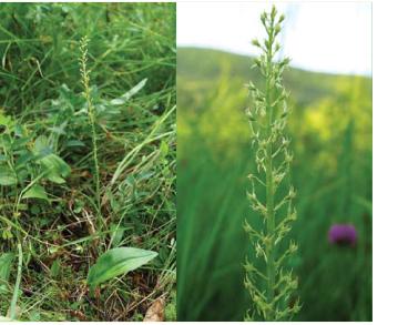 Мякотница однолистная (Malaxis monophyllos (L.) Sw. (Microstylis monophyllos (L.) Lindl.; Ophrys monophyllos L.))