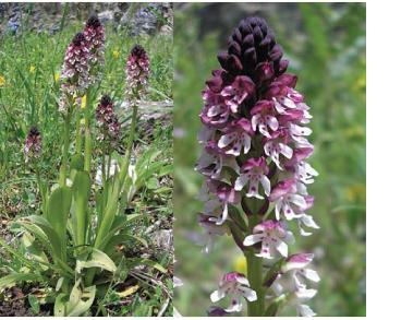 Неотінея обпалена (зозулинець обпалений) (Neotinea ustulata (L.) R.M. Bateman, Pridgeon et M.W. Chase (Orchis ustulata L.))