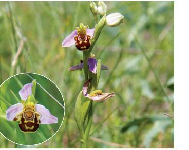 Офрис пчелоносная (Ophrys apifera Huds.)