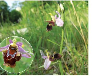 Офрис оводоносна (Ophrys oestrifera M.Bieb. (incl. O. cornuta Steven, O. oestrifera M.Bieb. subsp. cornuta (Steven) Soó, O. scolopax Cav. subsp. cornuta (Steven) E.G.Camus, O. scolopax Cav. subsp. oestrifera (M.Bieb.) Soó))