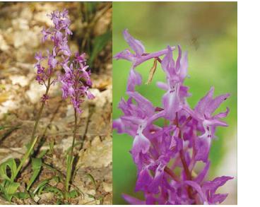 Orchis mascula (L.) L. (Orchis morio L. var. masculus L.)