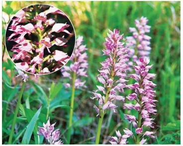 Зозулинець шоломоносний (Orchis militaris L.)