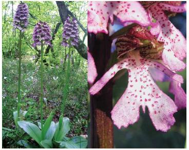 Зозулинець пурпуровий (Orchis purpurea Huds. (incl. O. pontica Fleischm. et Hand.-Mazz.))