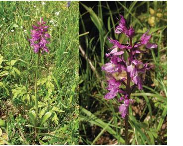 Orchis signifera Vest (O. speciosa Host., O. mascula L. subsp. signifera (Vest) Soó, O. mascula auct. non (L.) L.)