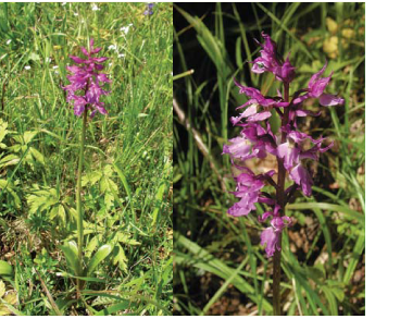 Зозулинець прикрашений (Orchis signifera Vest (O. speciosa Host., O. mascula L. subsp. signifera (Vest) Soó, O. mascula auct. non (L.) L.))