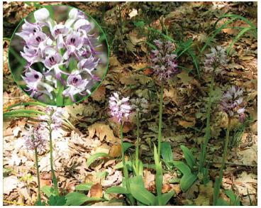 Зозулинець мавпячий (Orchis simia Lam.)