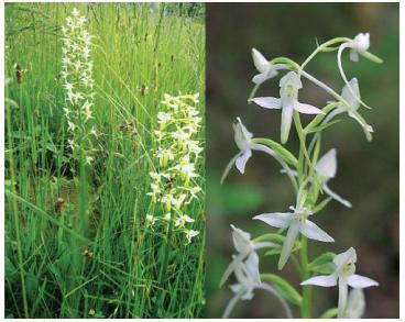 Platanthera bifolia (L.) Rich. (Orchis bifolia L.)