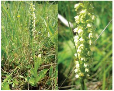 Псевдорхіс білуватий (лейкорхіс білуватий) (Pseudorchis albida (L.) A.Löve et D.Löve (Leucorchis albida (L.) E.Mey.; Satyrium albidum L.))