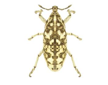 Леукомигус белоснежный (Leucomigus candidatus (Pallas, 1771))