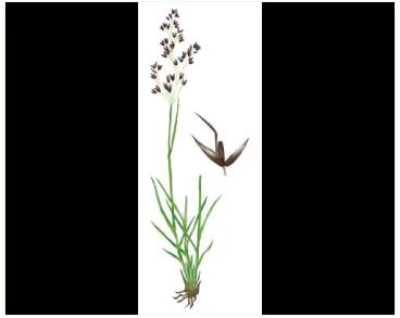 Мітлиця скельна (Agrostis rupestris All.)