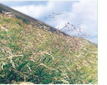 Беллардиохлоа фиолетовая (Bellardiochloa violacea (Bellardi) Chiov. (Poa violacea Bellardi))