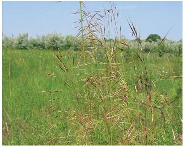 Золотобородник цикадовий (Chrysopogon gryllus (L.) Trin. (Andropogon gryllus L.))