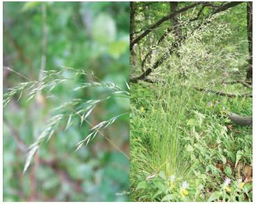 Овсяница разнолистная (Festuca heterophylla Lam.)