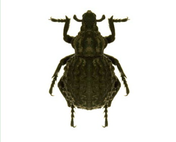 Брахіцерус зморшкуватий (Brachycerus sinuatus (Olivier, 1807))