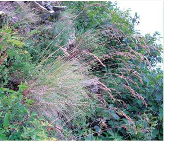 Костриця скельна (Festuca saxatilis Schur (F. rupicola Heuff. subsp. saxatilis (Schur) Rausch.))