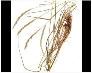 Roegneria panormitana (Parl.) Nevski (Elymus panormitanus (Parl.) Tzvelev)