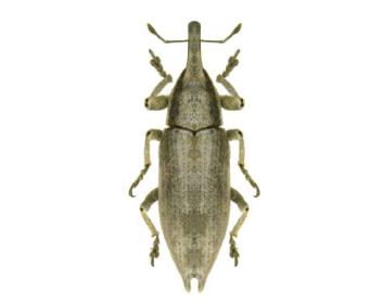 Ліксус катрановий (Lixus canescens (Fischer-Waldheim, 1835))