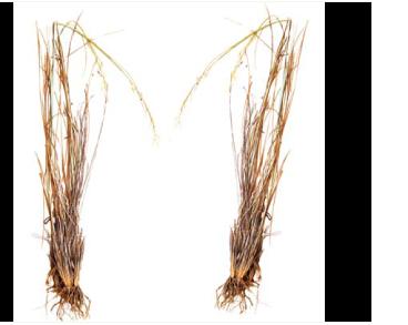 Ковыль уклоняющийся (Stipa anomala P.Smirn. ex Roshev.)