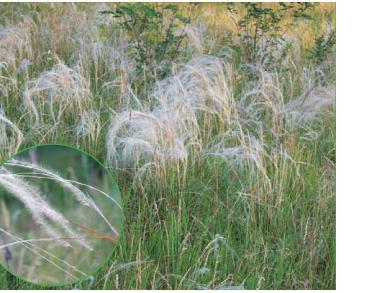 Ковила дніпровська (Stipa borysthenica Klokov ex Prokudin (S. joannis Čelak. subsp. sabulosa (Pacz), Lavrenko, S. pennata L. subsp. sabulosa (Pacz) Tzvelev, S. sabulosa (Pacz.) Sljuss.))
