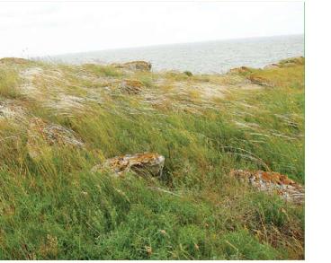 Ковыль Браунера (Stipa brauneri (Pacz.) Klokov (S. lessingiana Trin. et Rupr. subsp. brauneri Pacz.))