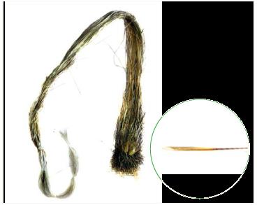 Ковила відокремлена (Stipa disjuncta Klokov (~ S. pennata L. s.l.))