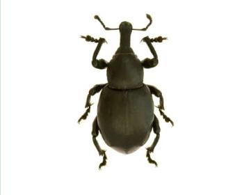 Жиряк гладенький (Liparus laevigatus (Gyllenhal, 1834))