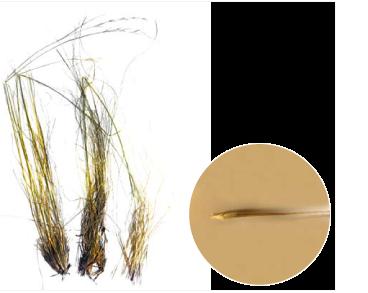 Ковила азовська (Stipa maeotica Klokov et Ossycznjuk (S. rubentiformis auct. non P.Smirn.))
