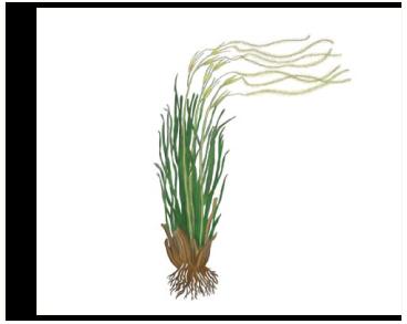 Stipa majalis Klokov (S. setulosissima Klokov, S. majalis var. setulosissima (Klokov) Tzvelev)