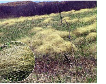 Ковила вузьколиста (Stipa tirsa Steven (S. longifolia Borbás, S. stenophylla (Czern. ex Lindem.) Trautv.))