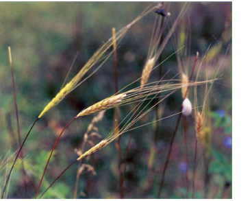 Пшеница дикая однозернянка (Triticum boeoticum Boiss. (T. thaoudar Reut. et Hausskn., T. monococcum L. subsp. boeoticum (Boiss.) Á.Löve et D.Löve))