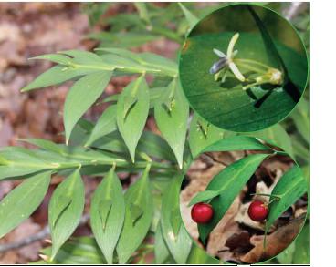 Рускус під'язиковий (голчатка під'язикова) (Ruscus hypoglossum L. (Platyruscus hypoglossum (L.) A.P.Khokhr. et V.N.Tikhom.))