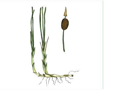 Рогіз малий (Typha minima Funk.)