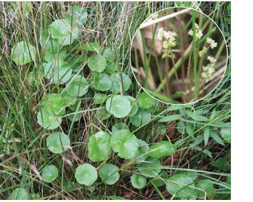 Щитолистник обыкновенный (Hydrocotyle vulgaris L.)