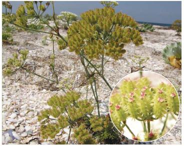 Astrodaucus littoralis (M. Bieb.) Drude (Daucus bessarabicus DC., Caucalis littoralis M. Bieb.)