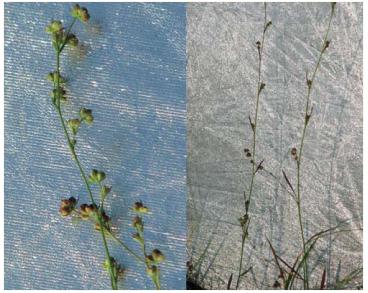 Володушка тончайшая (Bupleurum tenuissimum L.)