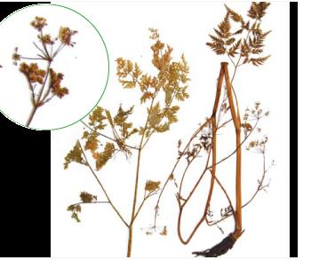 Conioselinum vaginatum (Spreng.) Thell. (C. tataricum Hoffm., Ligusticum vaginatum Spreng.)