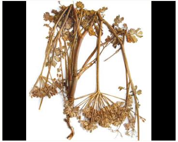 Борщевик лигустиколистный (Heracleum ligusticifolium M.Bieb.)