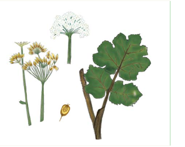Борщевик пушистый (Heracleum pubescens (Hoffm.) M.Bieb. (Pastinaca pubescens (Hoffm.) Calest.; Sphondylium pubescens Hoffm.))